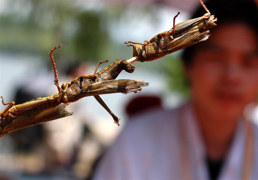 源自東非的蝗災肆虐南亞迫近中國,中國網友討論起如何吃蝗蟲,準備起鍋燒油。(檔案照片/中新社提供)