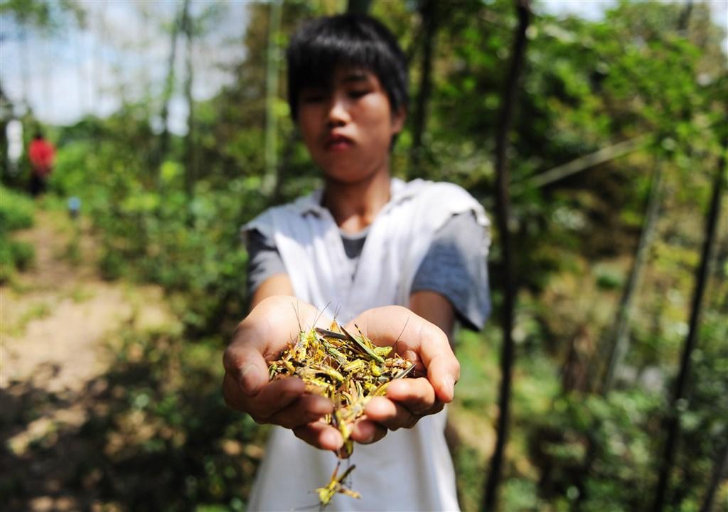 中國專家群警告,引發蝗災的沙漠蝗如果到6、7月還得不到控制,在印度洋季風作用下,進入中國境內機率「陡然升高」。圖為2012年7月湖南省長沙市一村莊因面臨蝗災而撲殺蝗蟲。(檔案照片/中新社提供)