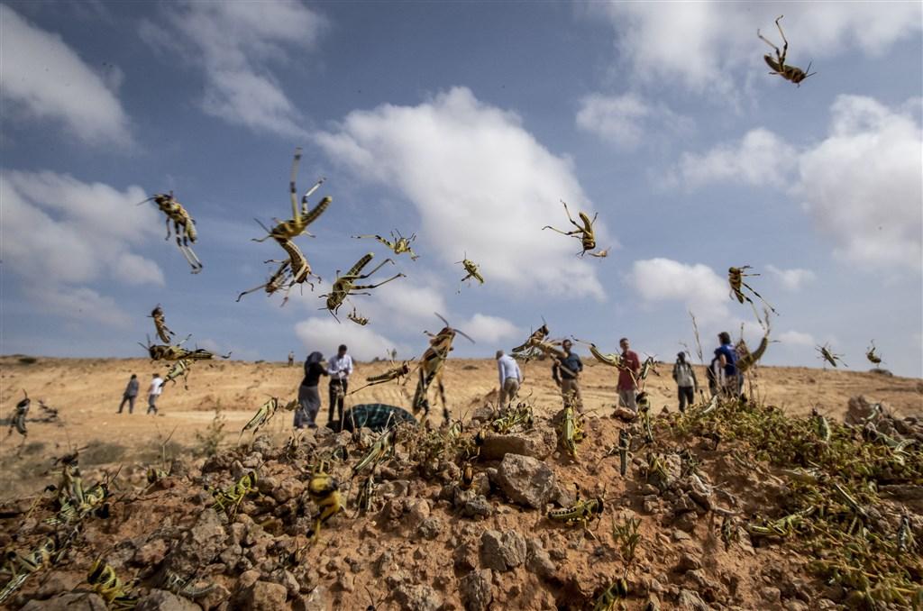 南蘇丹農業部長尼克瓦克18日表示,肆虐東非農作物和牧場的蝗蟲大軍,已經抵達飽受飢荒和多年內戰衝擊的南蘇丹。圖為索馬利亞尚未長出翅膀的沙漠蝗蟲。(美聯社)