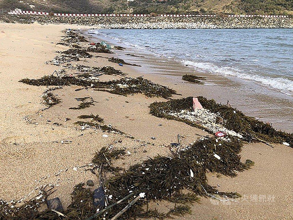 馬祖北竿塘后澳沙灘近日能看到大量銅藻被潮水推向岸邊,根據往年經驗,海域出現銅藻後不久,藍眼淚就會現蹤。(連江縣政府交旅局提供)中央社 109年2月23日