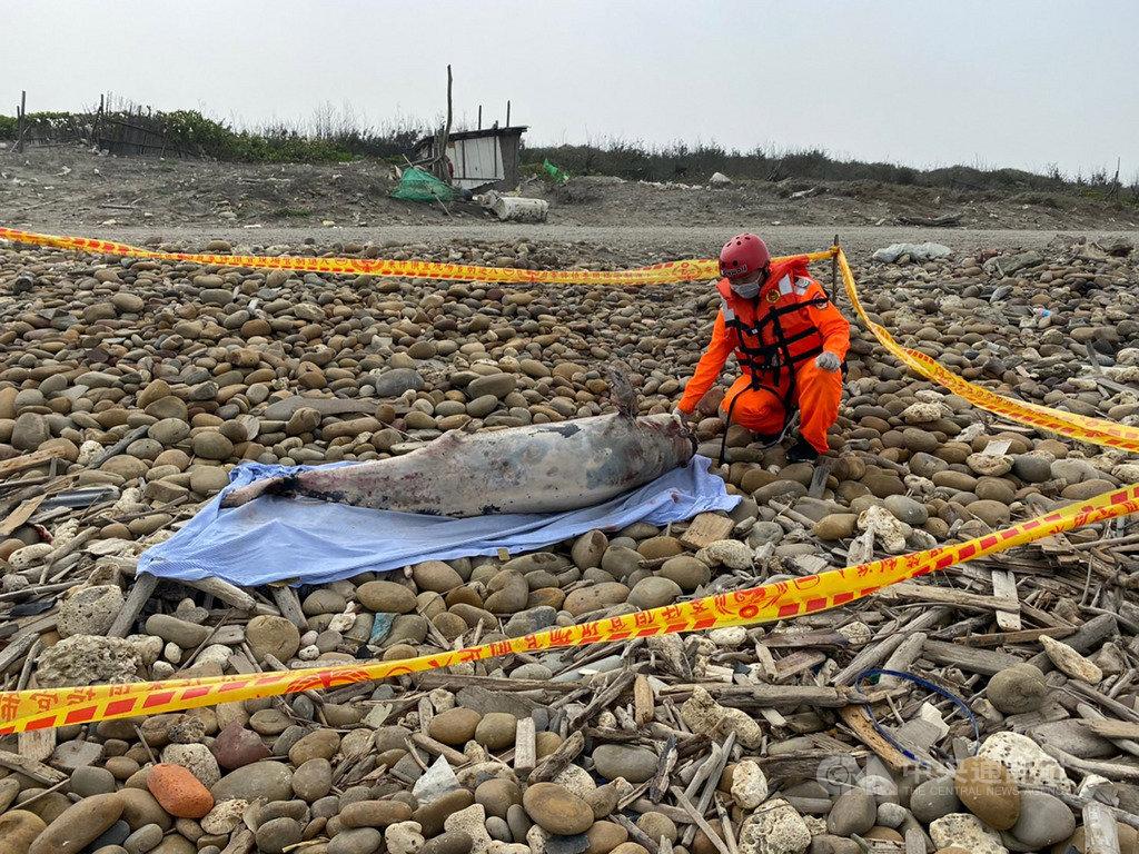 海巡人員28日在桃園埔心河沿岸發現有鯨豚擱淺,經初步鑑定為瀕危保育類動物「江豚」,確切死因有待解剖釐清。(海巡署提供)中央社記者邱俊欽桃園傳真 109年2月28日