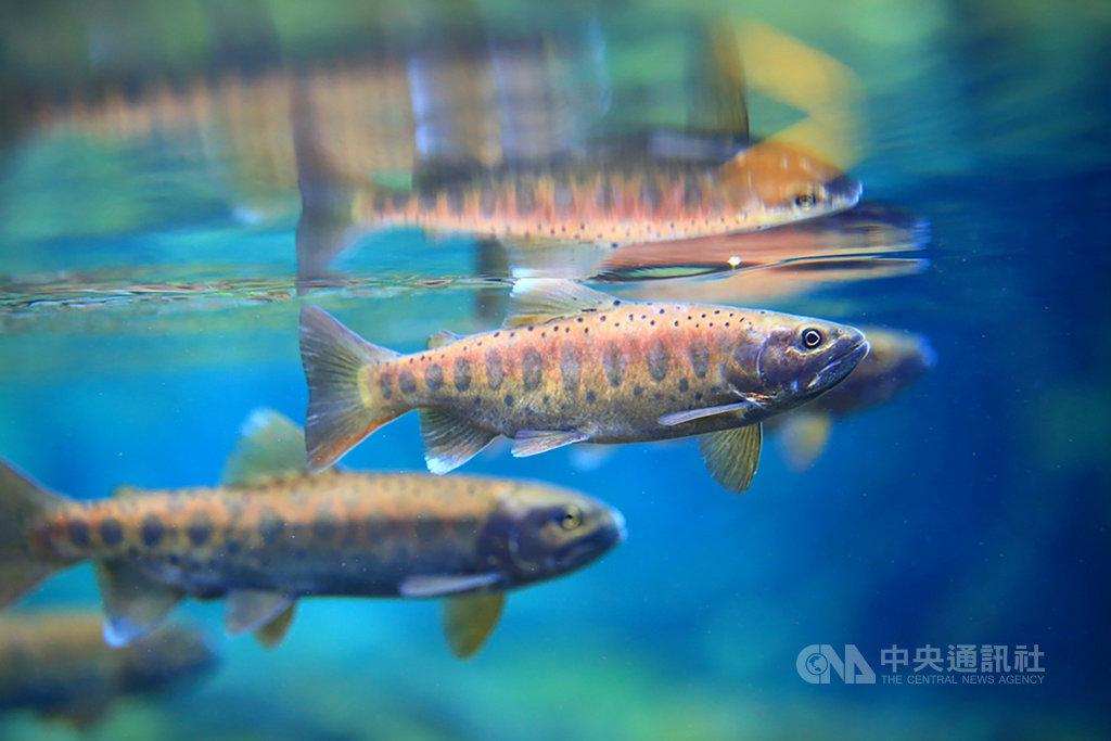 雪霸國家公園管理處25日表示,108年度台灣櫻花鉤吻鮭野外族群普查數量結果出爐,幾條溪流合計估算為1萬532尾,自有調查紀錄以來首度破萬尾,創歷史新高。(雪霸國家公園管理處提供)中央社記者管瑞平傳真 109年3月25日