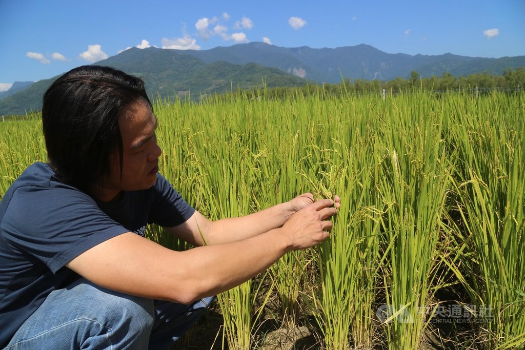 台東池上鄉青農魏瑞廷(圖)表示,他所栽種生產的米能讓國際買家肯定,在於區塊鏈食品溯源履歷的不可竄改、忠實呈現等特性,因此很快就能取得消費者的信賴。中央社記者李先鳳攝 109年3月25日