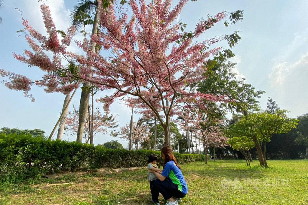 台南山上花園水道博物館內栽種的花旗木盛開,吸引不少民眾前往拍照,成為受歡迎的賞花秘境。(台南市文化局提供)中央社記者楊思瑞台南傳真  109年3月25日