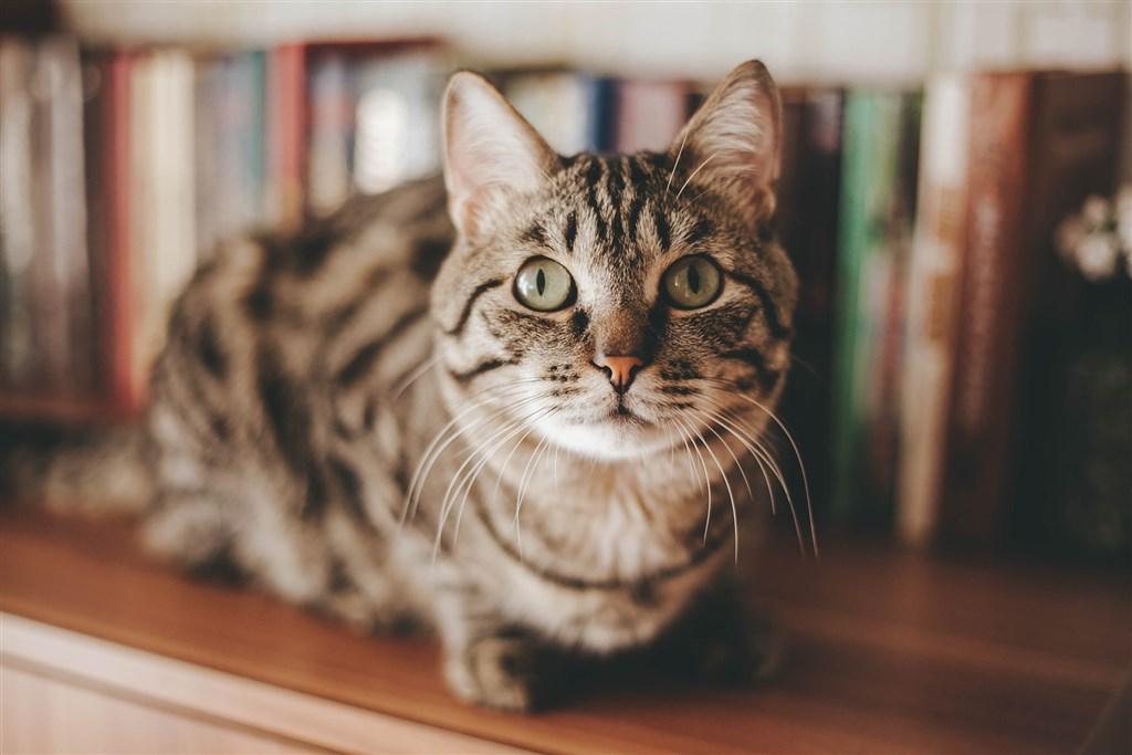 比利時一隻寵物貓遭飼主傳染確診武漢肺炎。農委會主委陳吉仲說,據資料顯示,動物感染後不會傳染同類,也沒證據顯示畜傳人。(示意圖/圖取自Pixabay圖庫)