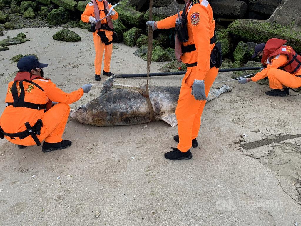 澎湖第七岸巡隊5日在岐頭北海域發現一尾死亡瓶鼻海豚,由於已死亡多時,岸巡隊在通報縣府後,直接就地掩埋。(第七岸巡隊提供)中央社  109年4月5日