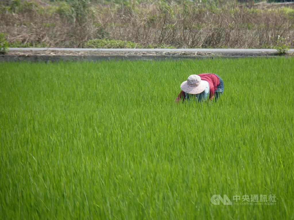 農委會農糧署9日表示,對比去年稻穀標售13萬公噸,今年還可增至20萬公噸,萬一武漢肺炎疫情嚴重到沒有小麥可進口,也約有230萬公噸米,足夠供應1年。(農委會提供)中央社記者楊淑閔傳真 109年4月9日