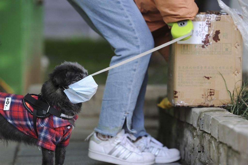 中國宣示全面禁食野味後,中國農業農村部8日展開意見徵求,共有31種畜禽列入可食用等商業用途,並指狗狗已「特化」為伴侶動物,屬不可食畜禽。圖為安徽合肥,戴口罩的寵物狗和主人一起外出取快遞。(中新社提供)中央社 109年4月9日
