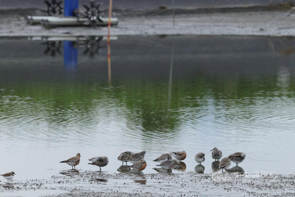 為拯救近年快速減少的「東亞澳遷徙線」上候鳥,林務局羅東林區管理處4月輔導宜蘭4名養殖業者,鼓勵他們在養殖空檔時,延長魚塭曬池時間,讓魚塭維持泥灘地狀況,當成候鳥過境的大飯廳,讓牠們有足夠體力飛往下一站。(羅東林管處提供)中央社記者沈如峰宜蘭縣傳真 109年4月10日