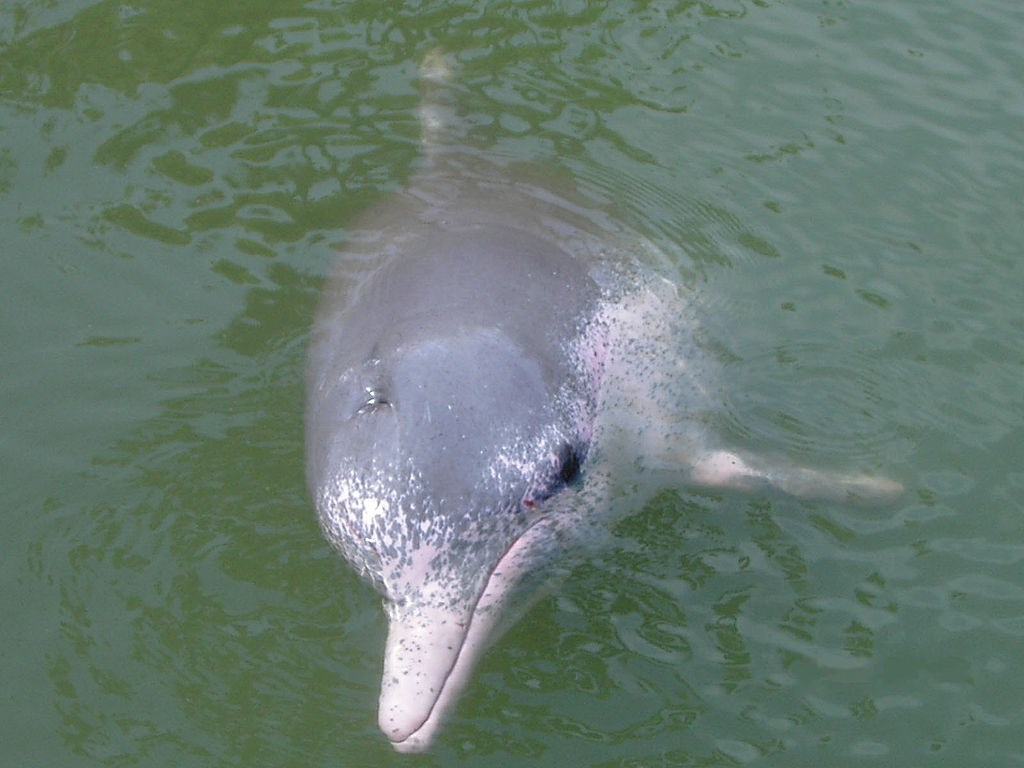 海保署19日表示,目前統計中華白海豚數量為64隻,日前已與各部會擬定「白海豚保育計畫」,正要送行政院核定。(圖取自維基共享資源;作者user:takoradee,CC BY-SA 2.5)
