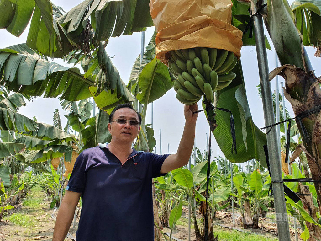 屏東蕉農余致榮從1公頃的小農做到目前擁有50公頃種植面積的大農,每年能賣掉5000公噸的香蕉。為符合日本規格和標準,外銷日本的香蕉套袋保護,嚴格控管品質。中央社記者郭芷瑄攝 109年4月25日