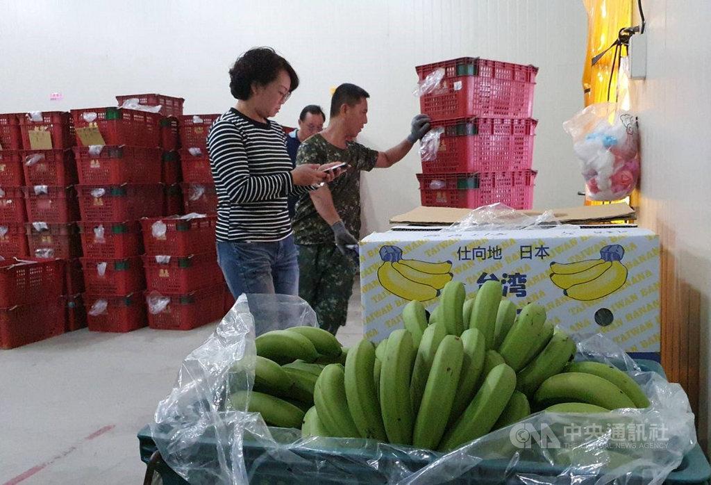 日本香蕉最大進口國菲律賓,因武漢肺炎(2019冠狀病毒疾病,COVID-19)疫情比台灣嚴重,香蕉訂單轉到台灣,在疫情中可看出台灣香蕉外銷日本的商機。中央社記者郭芷瑄攝 109年4月25日