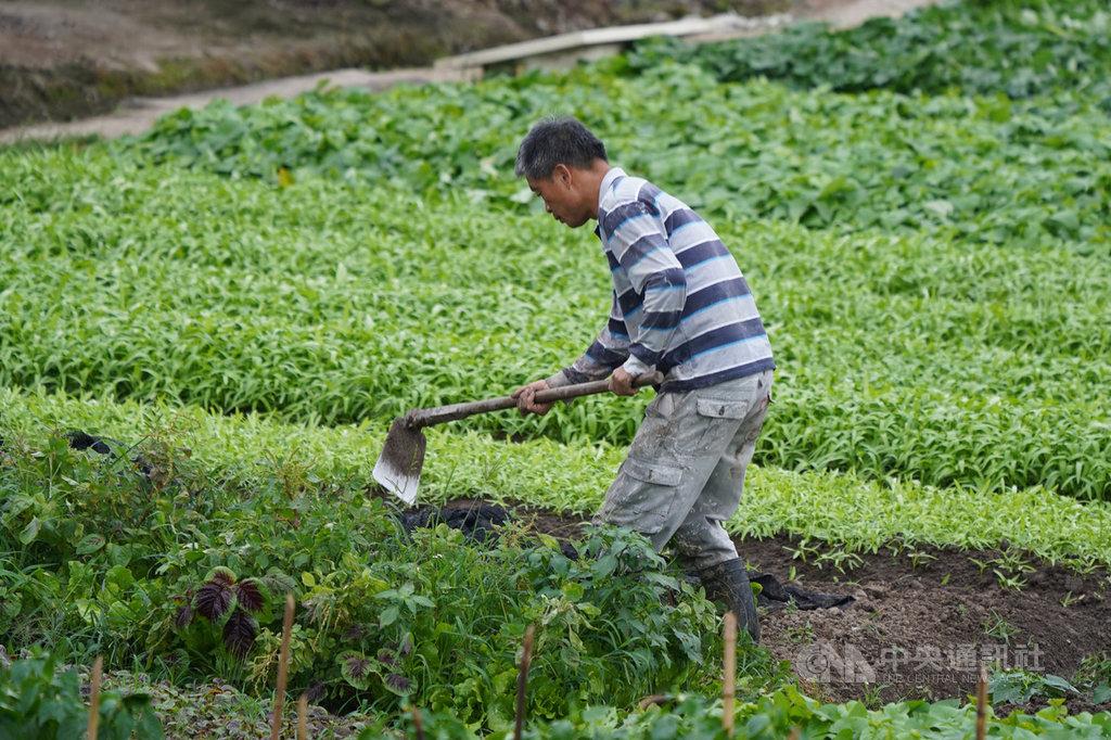 農委會主委陳吉仲6日表示,參加農保及農民職災保險者中約99萬人資料完整且已排富,15日前會直接匯新台幣1萬元給這些農民,但另14萬名實耕者11日須至農會申辦。圖為農民在關渡平原的菜園工作。中央社記者徐肇昌攝 109年5月6日