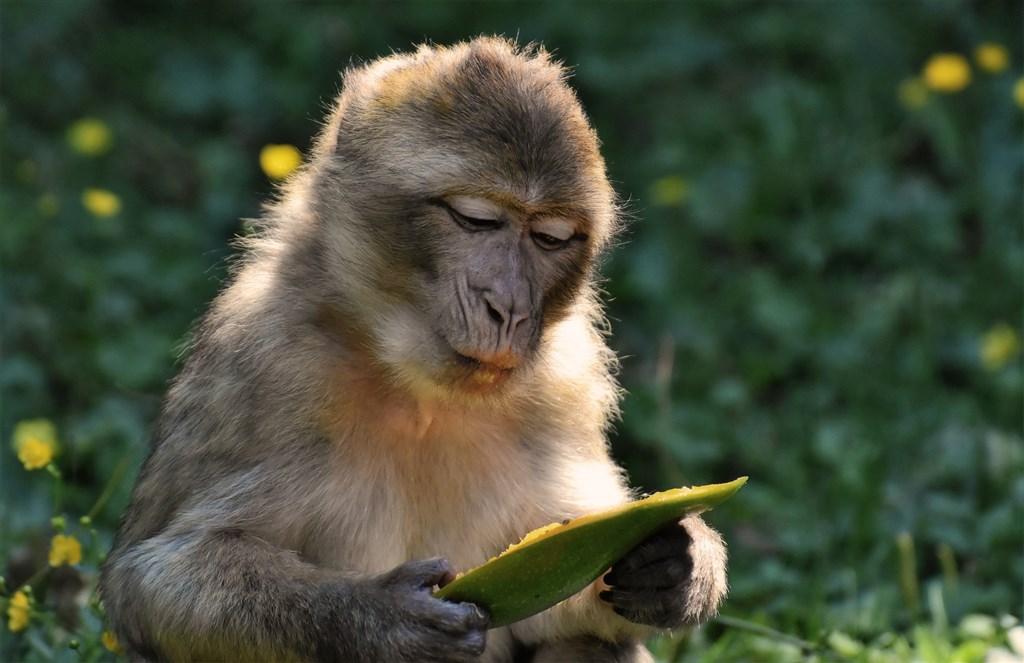 中國科研團隊6日在「科學」雜誌發表研究成果,表示武漢肺炎疫苗驗發進度在恆河猴實驗上取得發展。(示意圖/圖取自Pixabay圖庫)