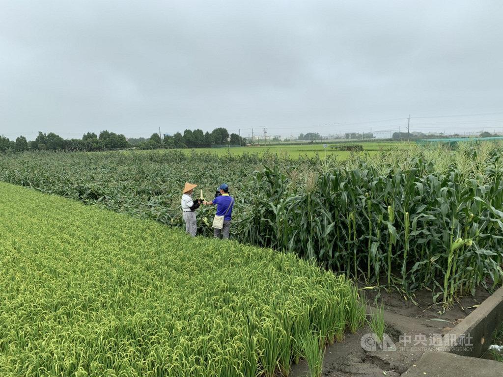 梅雨鋒面影響,雲林連日豪雨伴隨強風,虎尾鎮玉米出現倒伏,農民感嘆整季辛苦付諸流水。中央社記者姜宜菁攝 109年5月23日