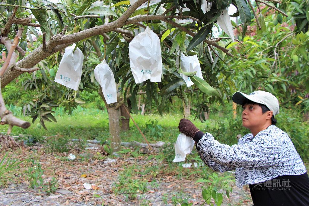 35歲女青年陸芝韻(圖)在父親過世後,辭去工作扛下家中芒果農園,並參加勞動部開辦的「農機具操作與維修實務」訓練課程,開啟青農新人生。(勞動部提供)中央社記者郭芷瑄傳真 109年5月29日