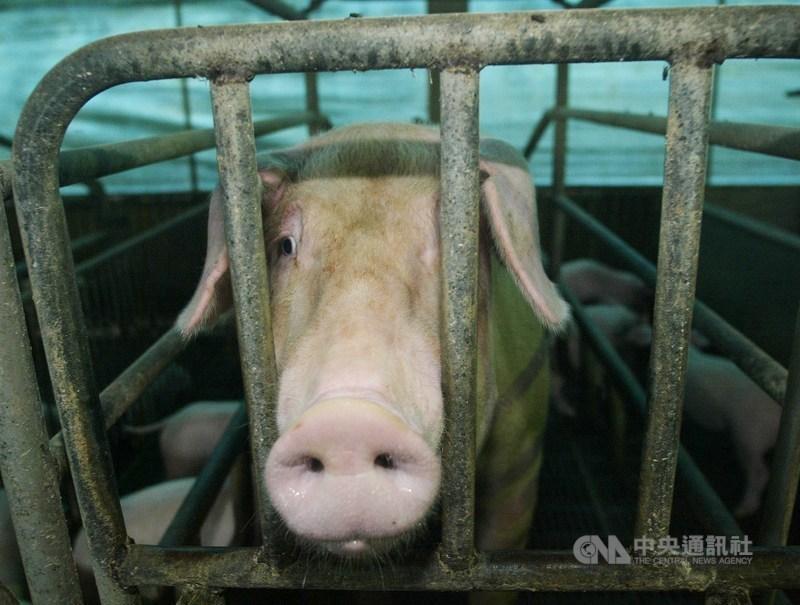 2020年以來,中國農業農村部已通報中國各地共14起非洲豬瘟疫情。(示意圖/中央社檔案照片)