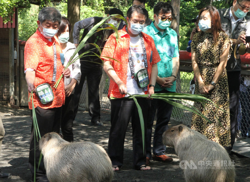 衛福部長陳時中(前左)31日上午到台南學甲頑皮世界野生動物園參訪,與台南市長黃偉哲(前左2)一起體驗餵食水豚。中央社記者楊思瑞攝  109年5月31日