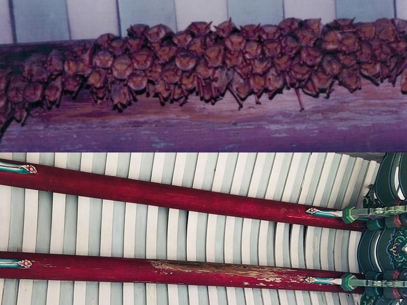 雲林縣水林鄉許宅曾是台灣最大的金黃鼠耳蝠繁殖育幼地點(上圖),然而目前屋梁空空如也(下圖),蝙蝠專家說,金黃鼠耳蝠已宣告消失。(圖取自facebook.com/formosangoldenbat)
