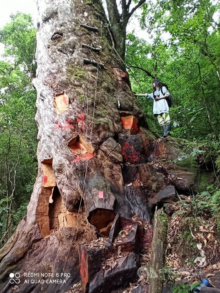 林務局和森林警察去年在宜蘭破獲山老鼠盜伐檜木,其中一棵千年檜木慘遭山老鼠凌遲式支解,讓人看了心疼;生態研究員莎韻建議,可以像台東利嘉林道被開膛剖腹的千年牛樟一樣,也讓它用自己的傷痕當作活教材,控訴山老鼠。(莎韻提供)中央社記者盧太城台東傳真 109年6月7日