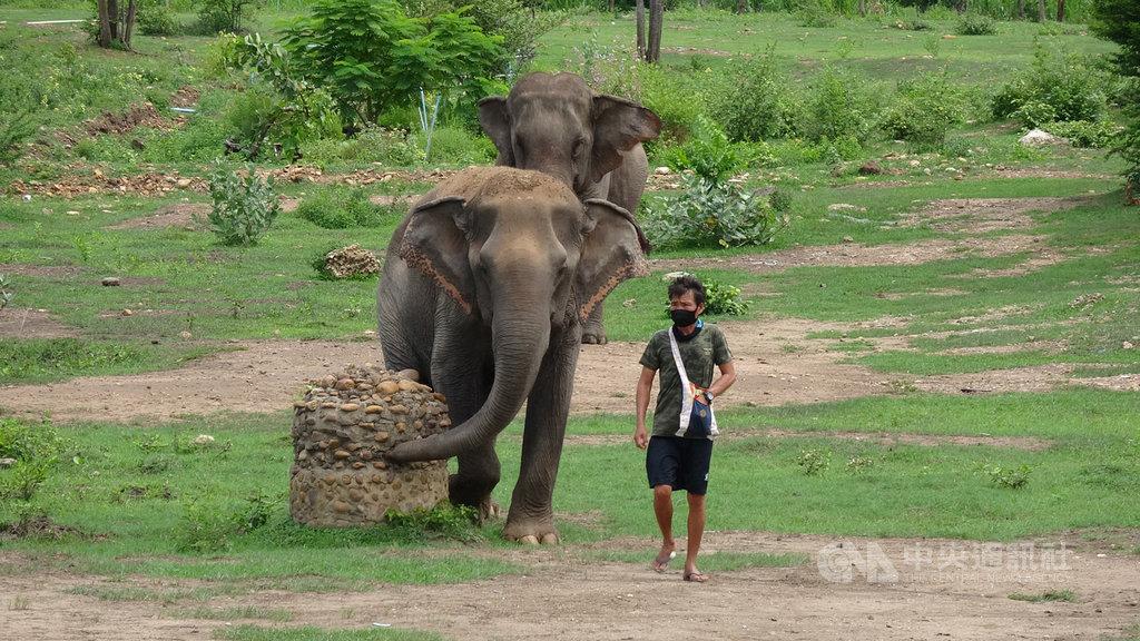泰國大象世界(Elephant World)收容了許多年老或受傷而無法再工作的工作象,儘管因為疫情沒有遊客,工作人員每天仍要固定帶著大象出來散步。中央社記者呂欣憓北碧府攝  109年6月8日