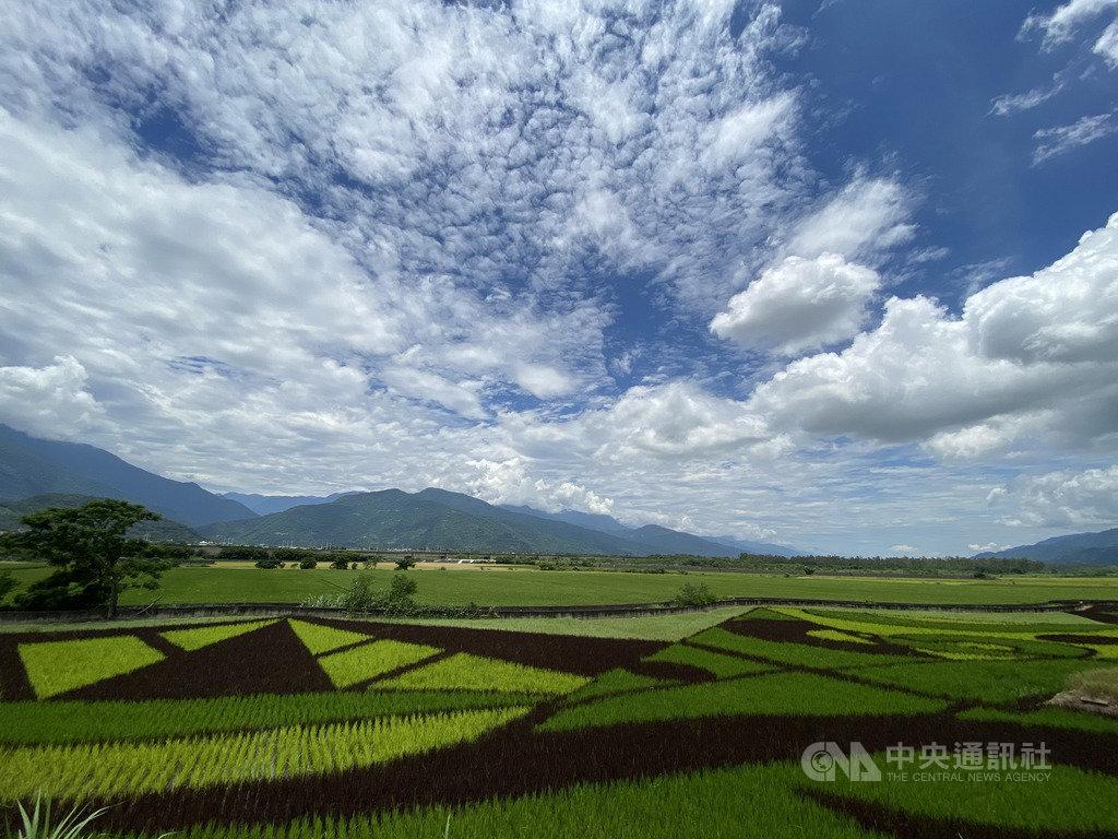 花蓮富里鄉東里鐵馬驛站旁的稻田,近期呈現黑綠黃白幾何圖案,在陽光照耀下,十分吸睛,吸引許多民眾到此拍照打卡。中央社記者李先鳳攝 109年6月10日
