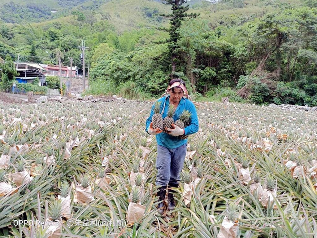 台東縣延平鄉農民朱益利的鳳梨田遭到台灣獼猴啃採,他為了驅猴,什麼方法都用盡,但猴子還是會再來,8000株鳳梨苗現在剩下約4000顆鳳梨,這兩天他幫其他農民採收,很羨慕別人的鳳梨大豐收。(朱益利提供)中央社記者盧太城東傳真 109年6月16日