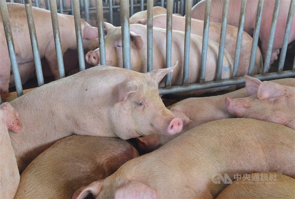走過24年,台灣16日終於正式清除口蹄疫,農委會看好星、港、澳、日,評估第一批生鮮豬肉會在下半年出口。(中央社檔案照片)