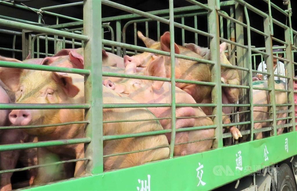 農委會證實,世界動物衛生組織(OIE)已經審查通過,台灣(台、澎、馬,不含金門)改列不打疫苗的非疫區,歷經23年努力,終於擺脫口蹄疫情。(中央社檔案照片)