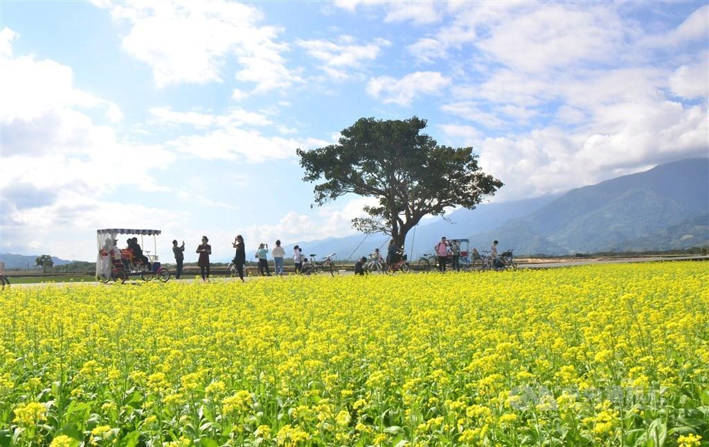 安心旅遊補助將在7月上路,交通部長林佳龍23日表示,已經向行政院爭取加碼20億元。圖為台東知名地標「金城武樹」。(中央社檔案照片)