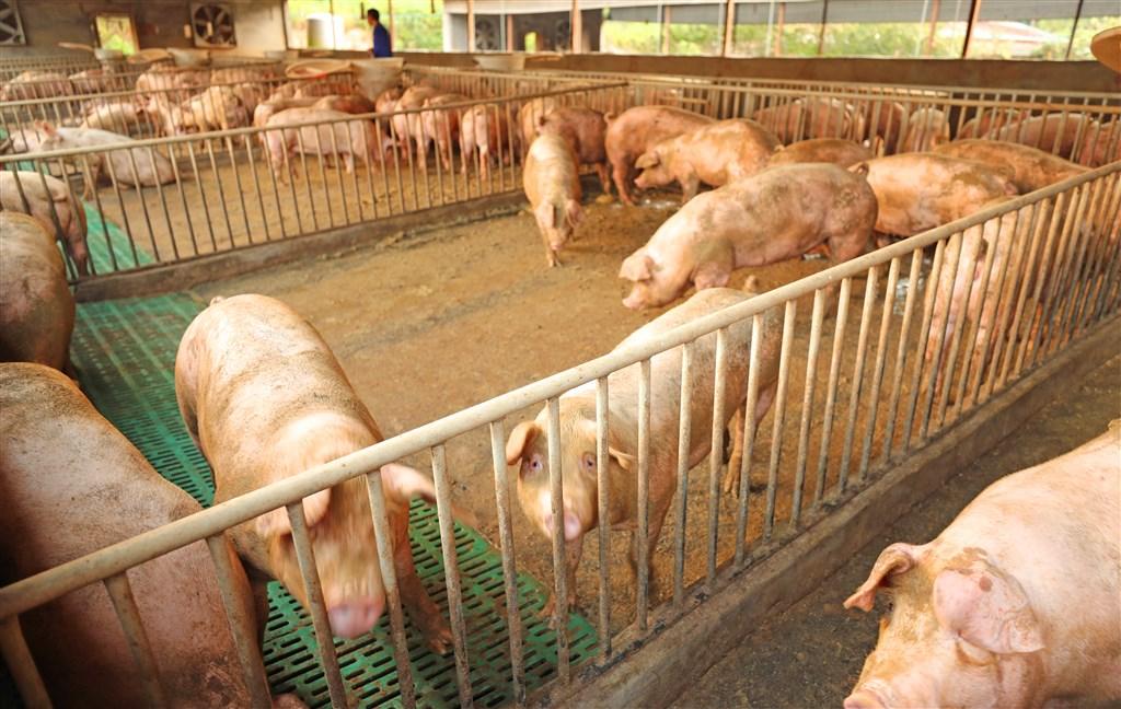 美國「國家科學院學報」29日刊登研究指出,中國研究人員發現一種新型豬流感,一旦突變,可能出現人傳人,引發全球大流行。圖為中國江西省吉安市一間生豬養殖合作社。(示意圖/中新社提供)