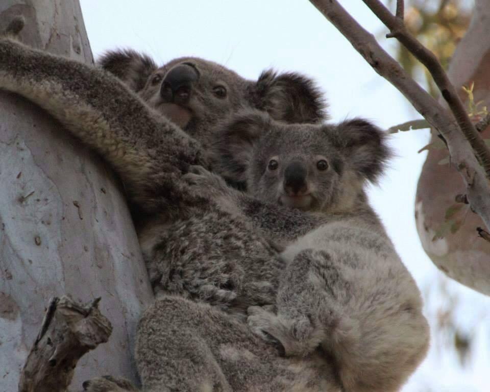 澳洲一份國會調查報告指出,若政府無法立即採取行動來保護無尾熊及其棲地,新南威爾斯州的無尾熊恐會在2050年以前絕種。(圖取自facebook.com/WIRES.wildlife.rescue)