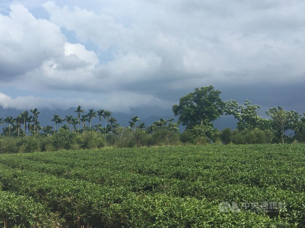 花蓮瑞穗鄉海拔100至300公尺的舞鶴台地適合茶樹生長,是天鶴茶的產地,經由小葉綠蟬吸吮而製成的蜜香紅茶,獨特的風味名聞全台。中央社記者李先鳳攝 109年7月1日