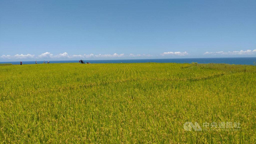 花蓮新社梯田是全台最大的臨海梯田,每年6月下旬稻穗成熟,收割前的金黃稻浪,在碧海藍天襯映下,成為最夯的拍照打卡景點。中央社記者李先鳳攝 109年7月1日