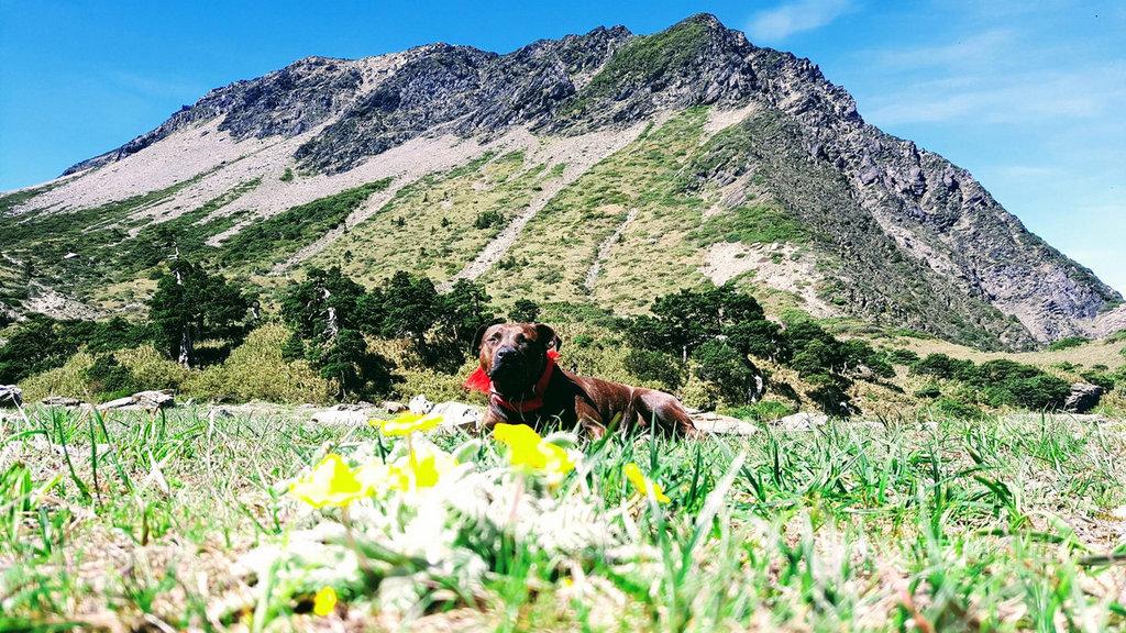 流浪比特犬「小花花」在海拔約3500公尺的南湖圈谷被發現,經過山友們細心照料,已恢復健康與活力。(民眾提供)中央社記者張祈傳真 109年7月1日