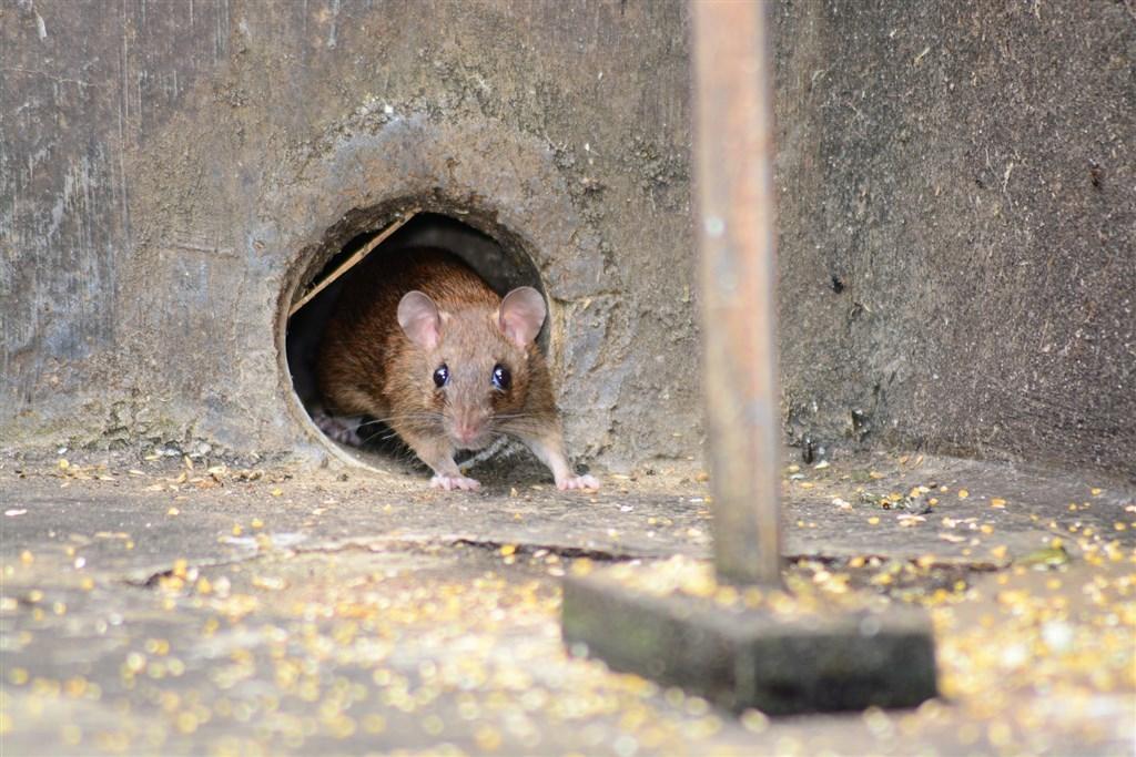 中國內蒙古巴彥淖爾市近日發布鼠疫疫情預警,WHO官員7日表示,目前看來非高風險狀態。(示意圖/圖取自Pixabay圖庫)