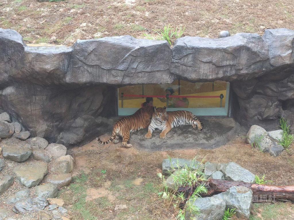 新竹市立動物園的雙胞胎動物明星「兩隻老虎」,將在10日過15歲生日,園方準備特製肉塊冰蛋糕,邀請民眾一起來為牠們慶生。(新竹市政府提供)中央社記者郭宣彣傳真 109年7月8日