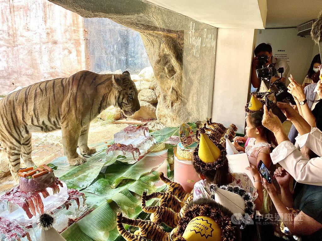 新竹市立動物園10日為兩隻孟加拉虎舉辦生日派對,入園遊客齊聚猛獸展示區,一起為老虎慶生、唱生日快樂歌。中央社記者魯鋼駿攝 109年7月10日