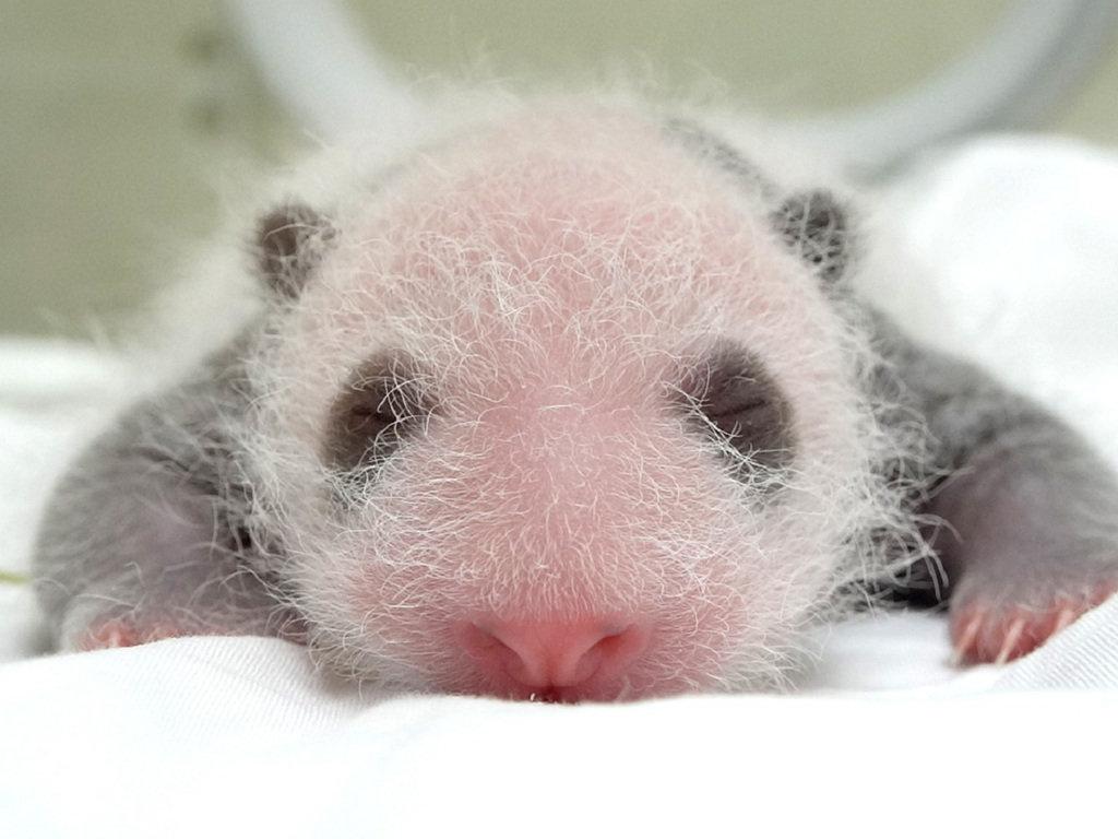 台北市動物園大貓熊圓仔的妹妹6月底呱呱落地,至今已15日齡,開始出現黑眼圈、耳朵、小背心等色斑特徵,開始有「大貓熊」的樣子。(台北市動物園提供)中央社記者梁珮綺傳真 109年7月13日