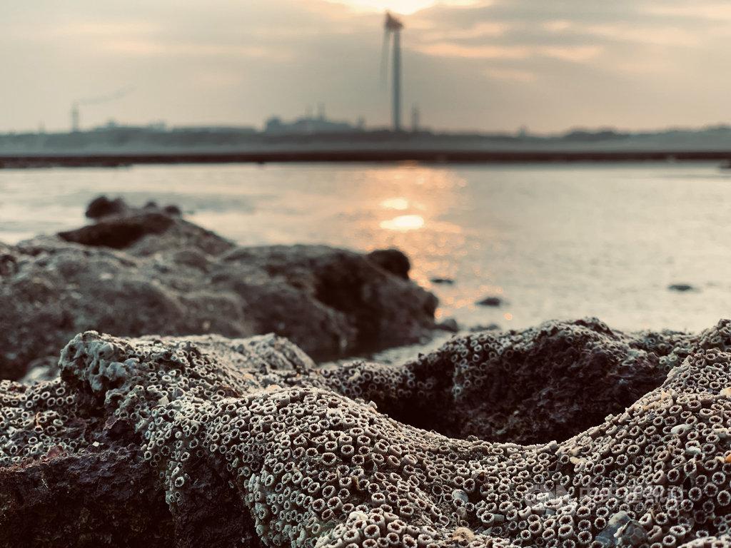 桃園觀音大潭藻礁是全球少數僅存的現生淺海藻礁,豐富生態養育近百種生物。(搶救大潭藻礁行動聯盟提供)