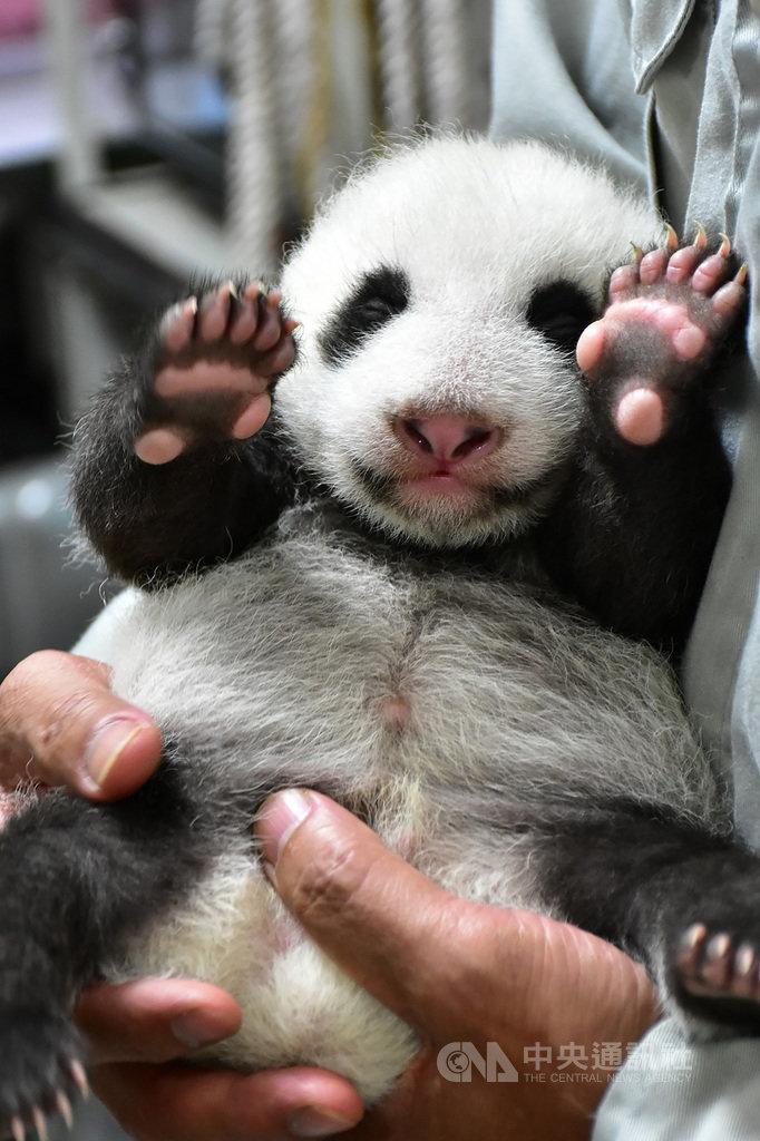 台北市立動物園表示,大貓熊「圓仔妹」達38日齡,體重也突破2公斤,外表更有大貓熊樣;為確保安全,保育員都得用雙手穩穩抱起「圓仔妹」以量體重。(台北市立動物園提供)中央社記者李宛諭傳真 109年8月5日