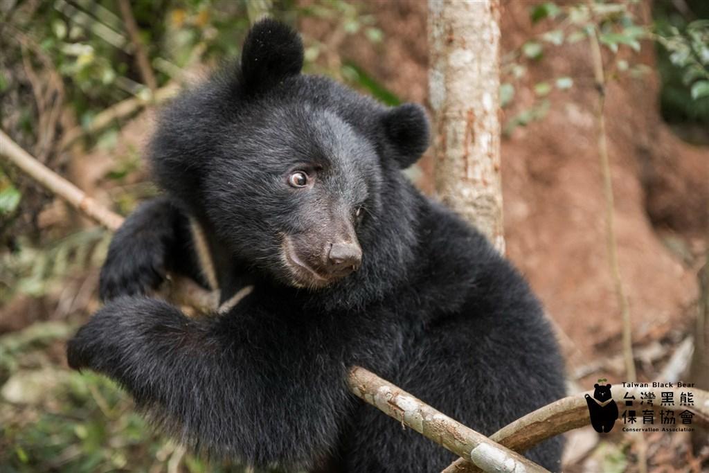 台灣黑熊保育協會擬修改章程辦幼兒園,引起部分捐款人和會員反對。協會表示,此案還在初步規劃及討論中。(圖取自台灣黑熊保育協會臉書facebook.com)