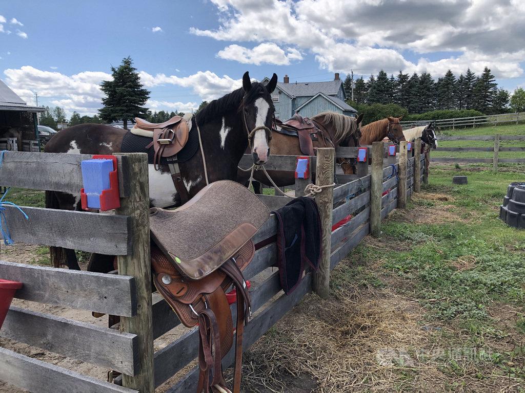陳仁正放棄高薪本業,在加拿大安大略省追夢開馬場。他說:「人不能控制馬,但可以和馬一起『合作』,合作不是控制,而是了解。」中央社記者胡玉立鄂克斯橋攝 109年8月12日