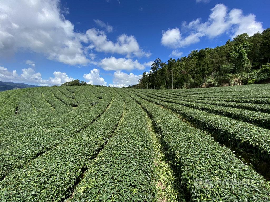 新北市坪林區公所2日表示,坪林擁有很棒的景點與精緻特色茶餐美食,盼結合坪林商圈、地方創生及青農,一起努力翻轉找回人潮。圖為茶園景色襯托藍天。(坪林區公所提供)中央社記者黃旭昇新北傳真 109年9月2日