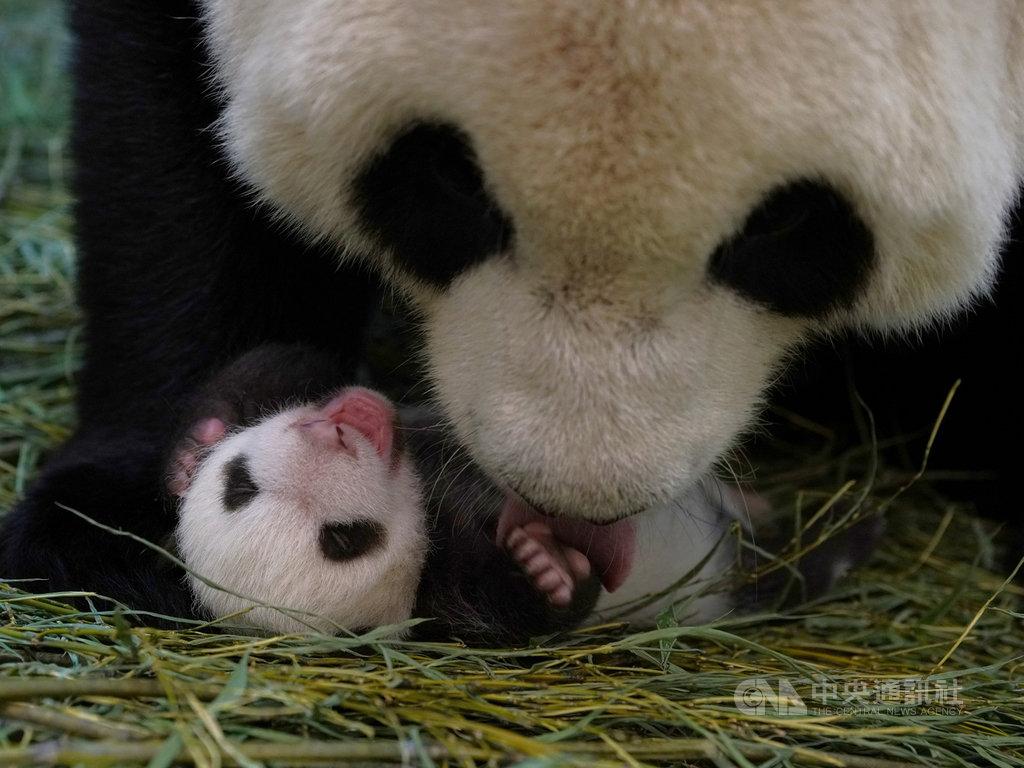 台北市立動物園指出,大貓熊「圓圓」為了避免洩漏寶寶行蹤躲避天敵,會將「圓寶」的糞便吃掉。(台北市立動物園提供)中央社記者陳怡璇傳真 109年9月4日