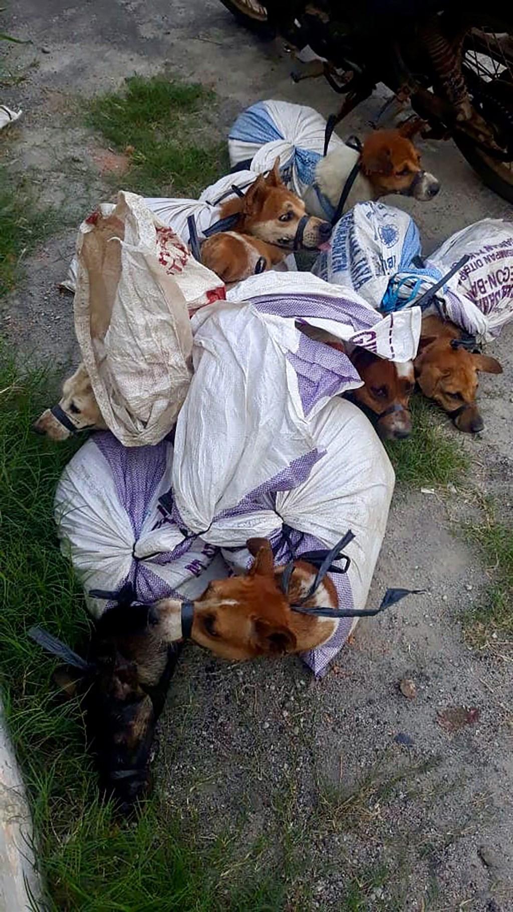 印尼動保團體調查,印尼每年有超過一百萬隻狗被屠宰食用,許多狗被捕後,四肢和頭、嘴部都被綁上繩索,裝入麻布袋,送到屠宰場。(雅加達佩加天動物收容所提供)中央社記者石秀娟雅加達傳真 109年9月6日