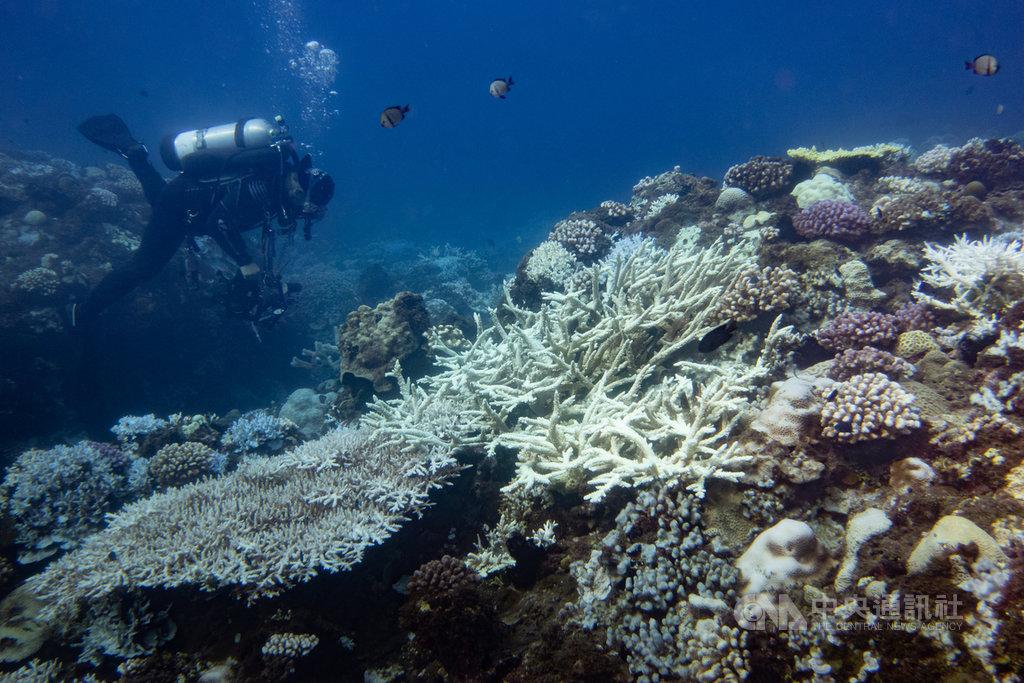台灣周遭海域的珊瑚正經歷嚴重的珊瑚白化危機,環保團體綠色和平在8月17日至19日也在墾丁的3個潛水地點記錄到大規模珊瑚白化的影像。(綠色和平提供)中央社記者吳欣紜傳真 109年9月10日
