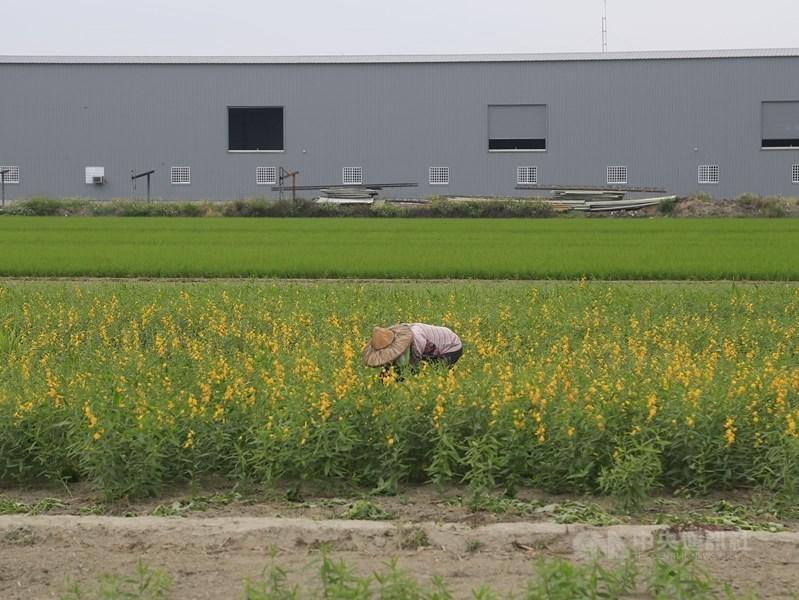 立法院會27日三讀修正通過工輔法部分條文,針對農地既存的低污染未登記工廠,須在2年內申請納管、3年內提工廠改善計畫,10年內取得「特定工廠登記」,落日期限則為20年。圖為農田間鐵皮屋工廠一景。(中央社檔案照片)