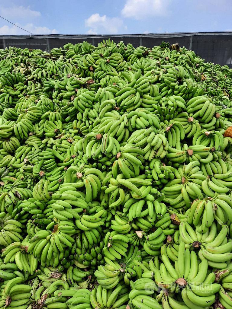 台灣青果合作社屏東分社持續收購去化香蕉,15日載運香蕉繳交的農民大增,收購場內的去化香蕉堆積如山。中央社記者郭芷瑄攝 109年9月15日