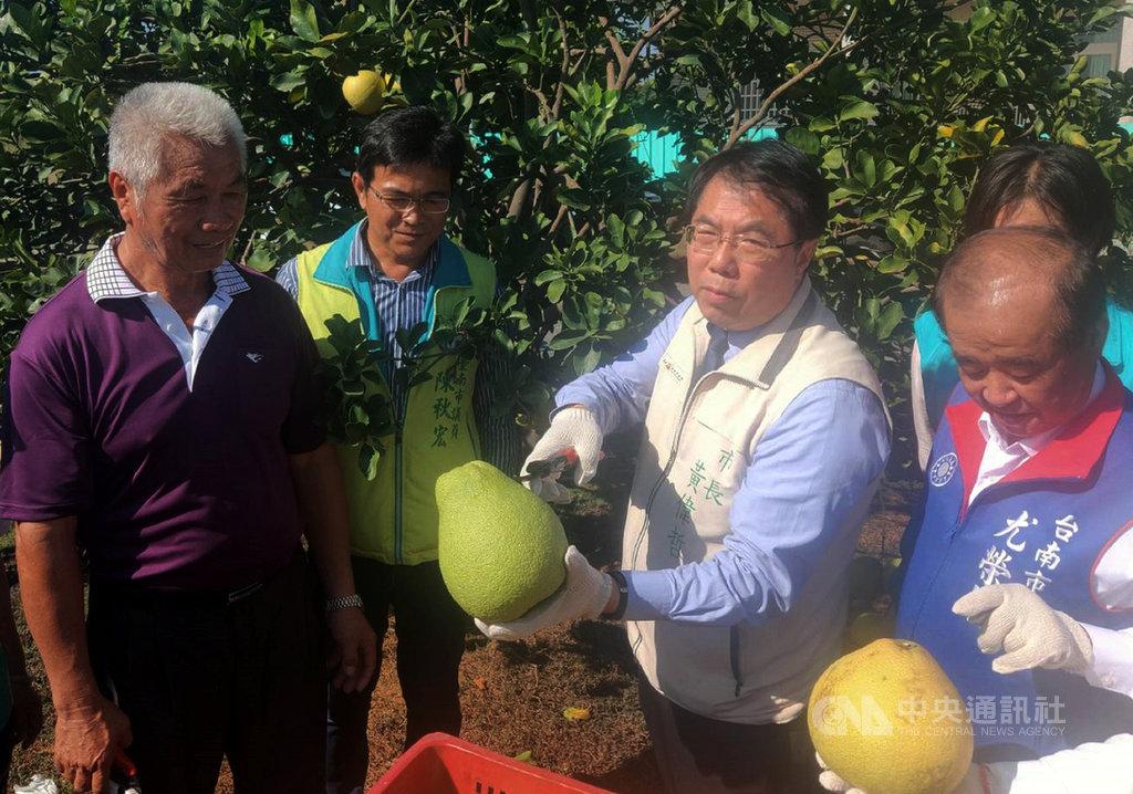 台南市長黃偉哲(右2)16日化身一日農夫,前往麻豆區的果園幫忙採收紅柚,並現場品嚐。中央社記者楊思瑞攝 109年9月16日